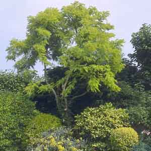 Golden Honeylocust