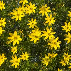 Coreopsis, Tickseed