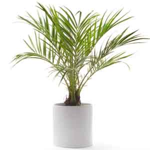 Dwarf Date Palm, Feather Palm, Pygmy Palm Indoors