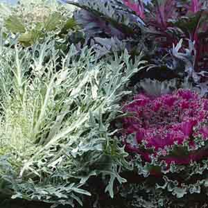 Flowering Cabbage/Kale