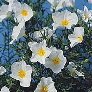Dwarf Cup Flower