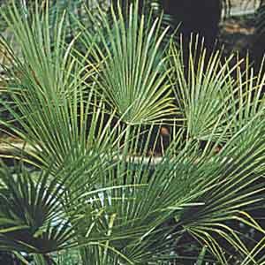 Windmill Palm, European Fan Palm
