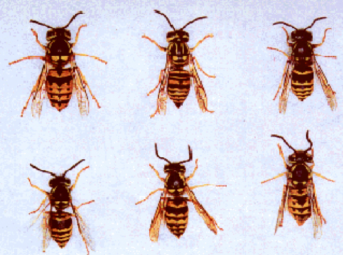 north american yellow jackets