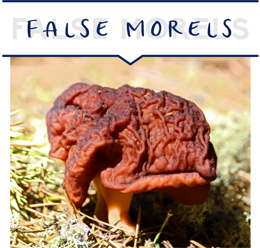 False Morels