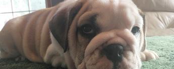 Bulldogcover