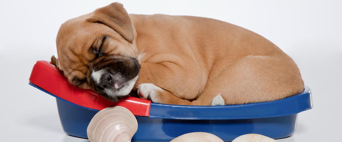 Boxer - My Little Puppy