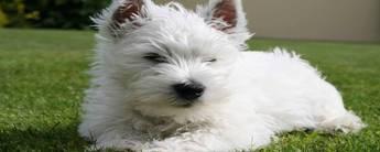 Westie breed image