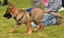 BCS Dog Walking: Dog Training