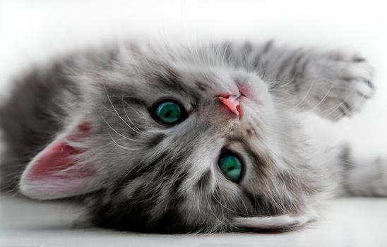 Cat_grooming_b
