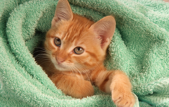 Cat_grooming_f