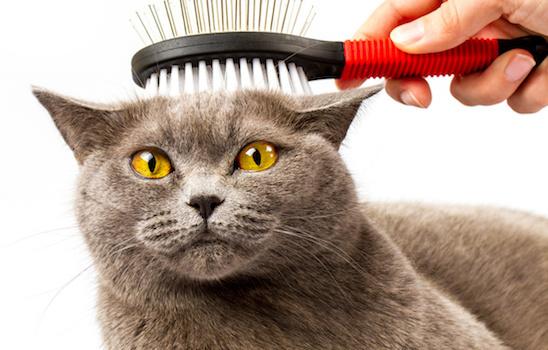 Cat_grooming_n