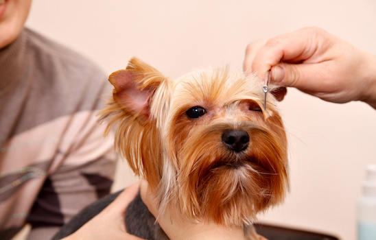 Dog_grooming_a