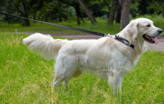 Dog_walking_e