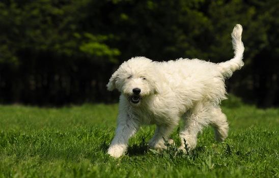 Dog_walking_4