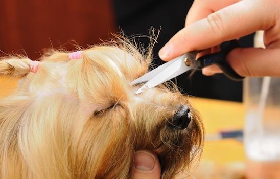 Dog_grooming_11