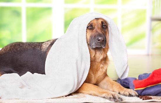 Dog_grooming_5