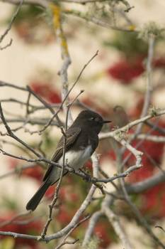 W-black-phoebe-with-red