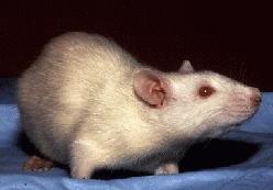 Albino_Rat