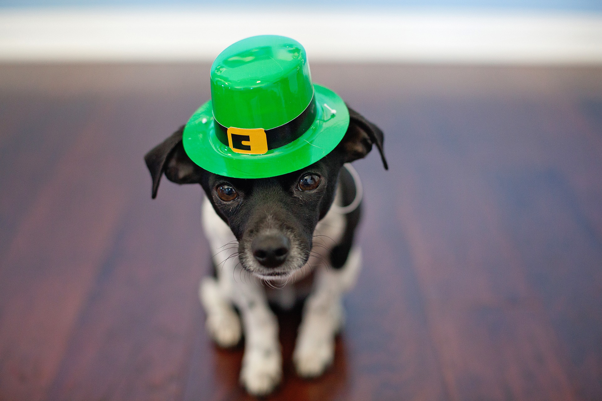5 way nurses can celebrate st patricks day Pets.jpg