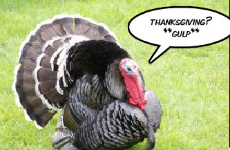 fearful turkey at Thanksgiving time