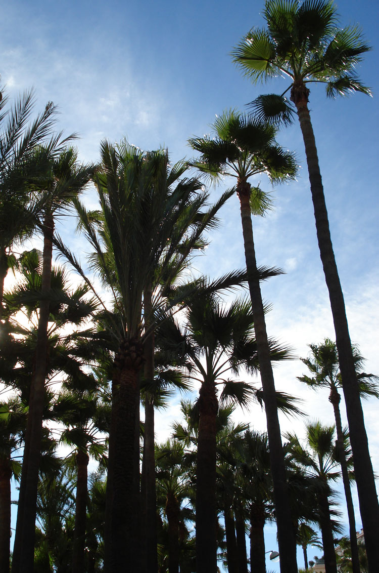 Palm trees at the Promenade de la Croisette, Cannes