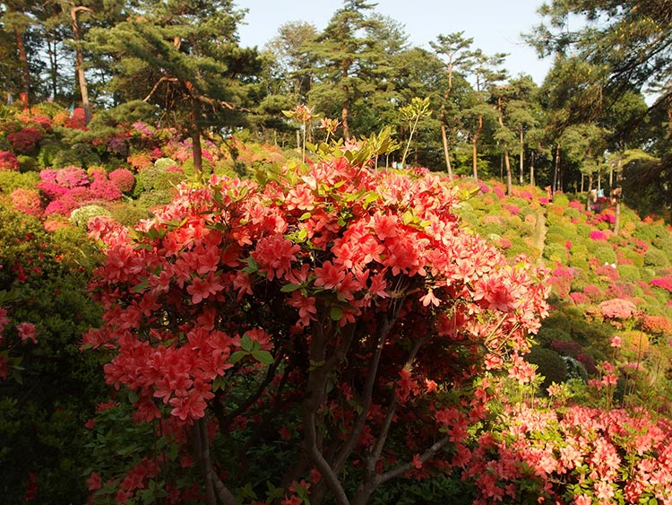 The azalea garden of Shiofune Kannon-ji