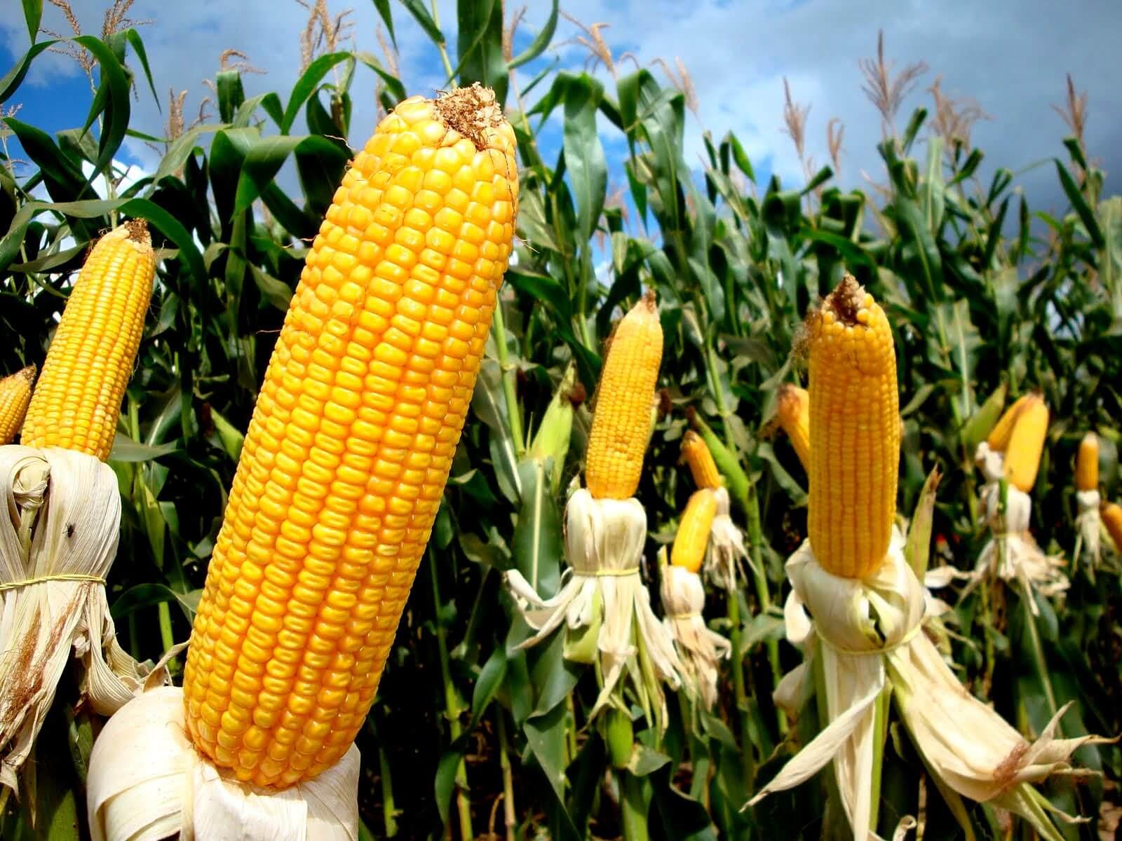 relação de troca entre a arroba e o milho
