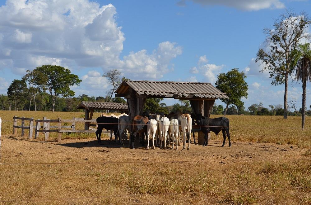 rebanho bovino a pasto