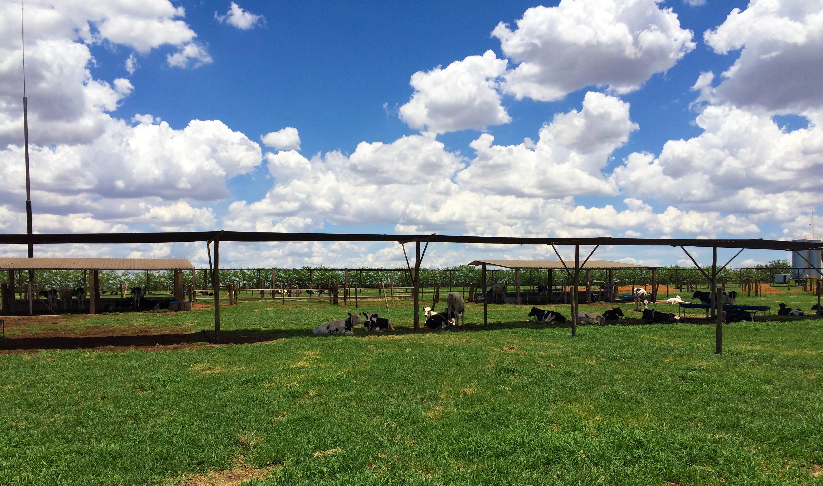 vacas no sombreamento artificial