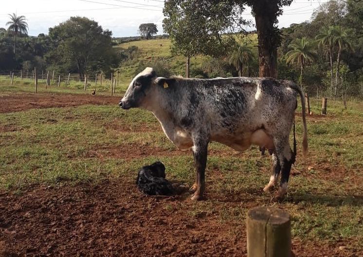 vaca recem parida com bezerro