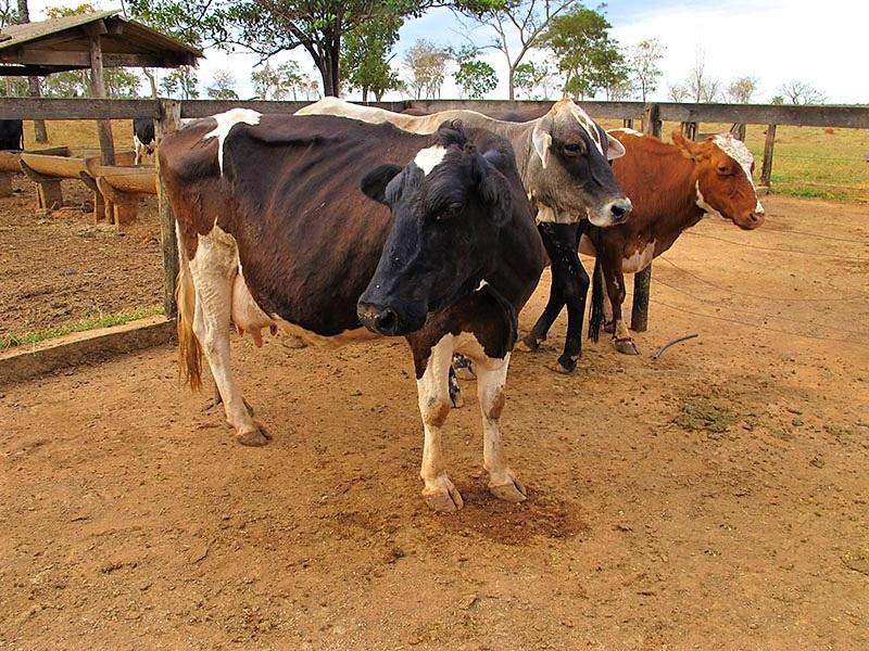 vaca com tripanossomose