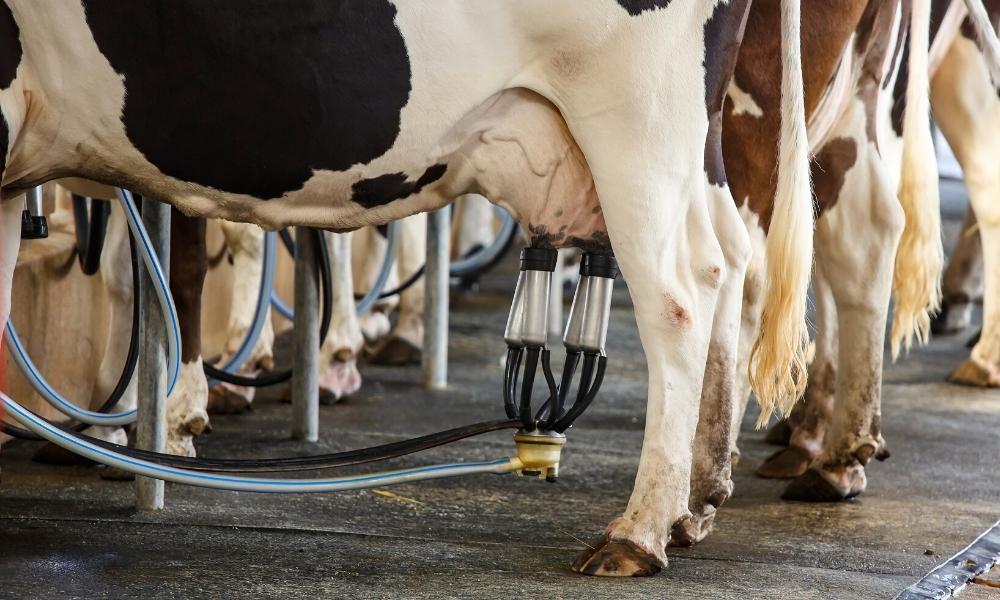 vaca na ordenha