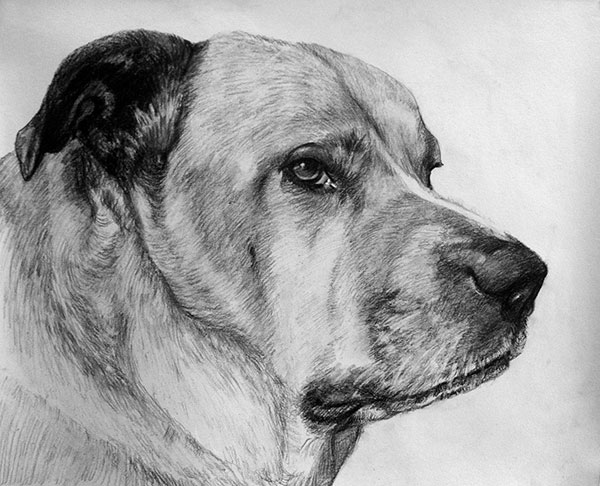 dog portrait in charcoal