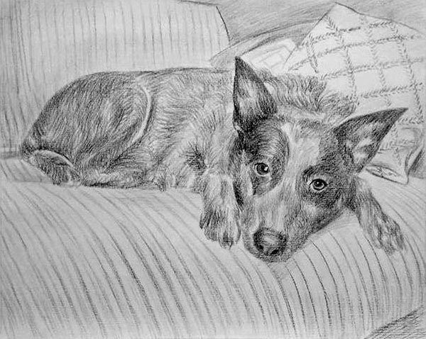custom pencil drawing of a Stumpy Tail Cattle Dog