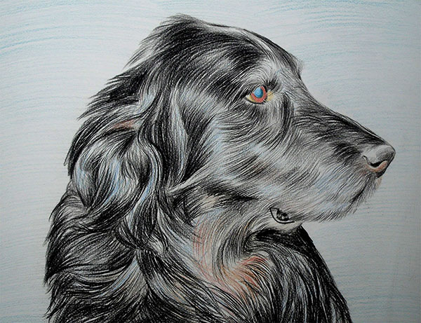 custom colored pencil drawing of a black Setter dog