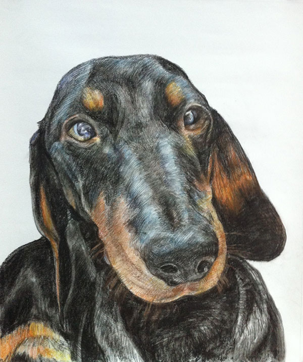custom colored pencil drawing of a black Dachshund