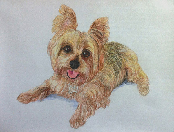 colored pencil drawing of a small Australian Silky Terrier