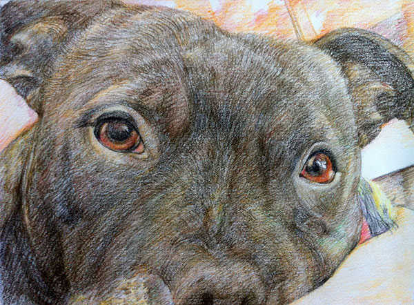 custom colored pencil close up of Staffordshire Bull Terrier