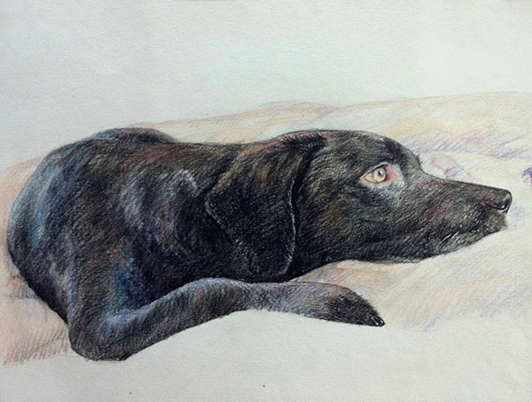 custom colored pencil drawing of a Labrador laying on bed