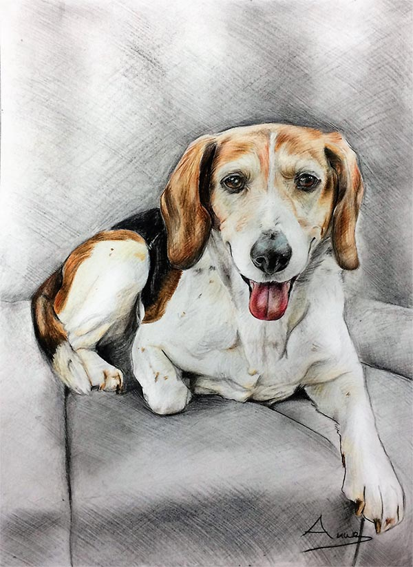 custom colored pencil drawing of beagle on couch