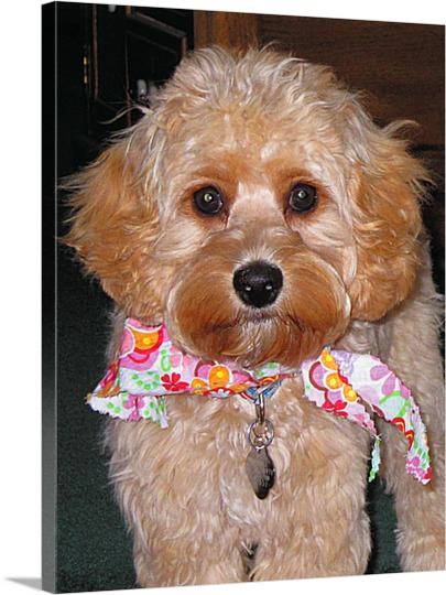 Poodle with Scarf on Pop Art Canvas