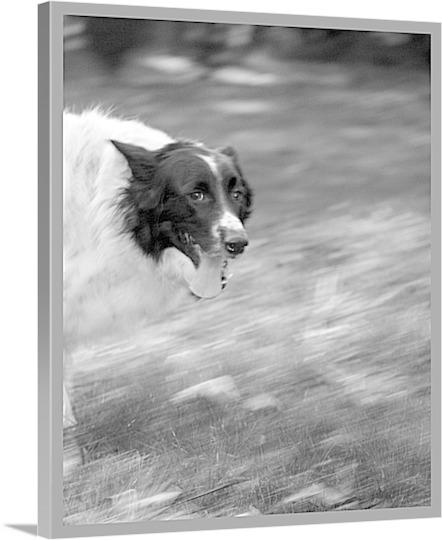 Print of Dog Running on Canvas