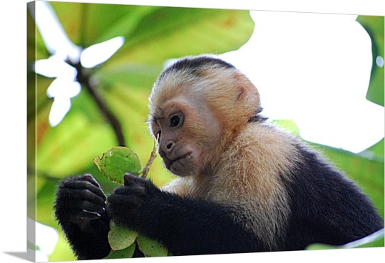 Canvas Print of Monkey