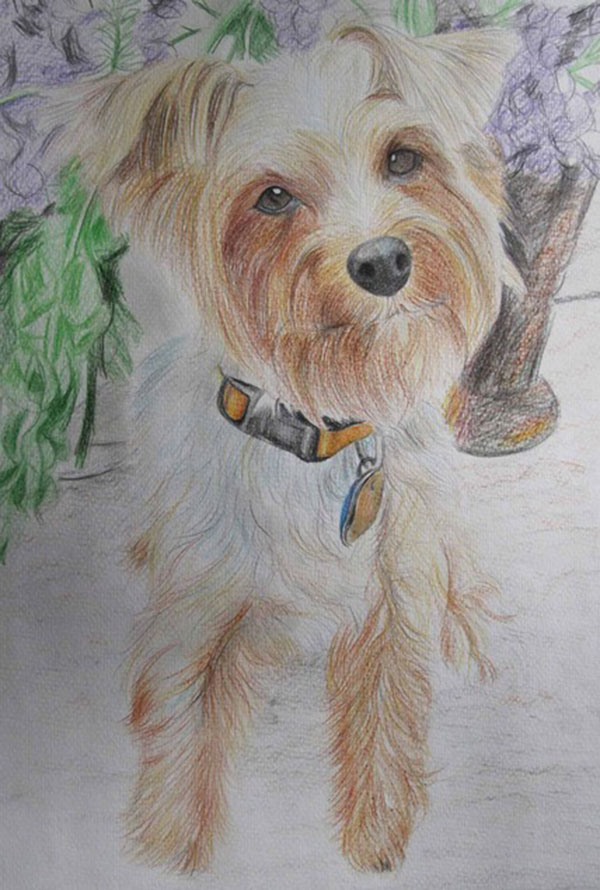 custom colored pencil drawing of a Yorkshire Terrier