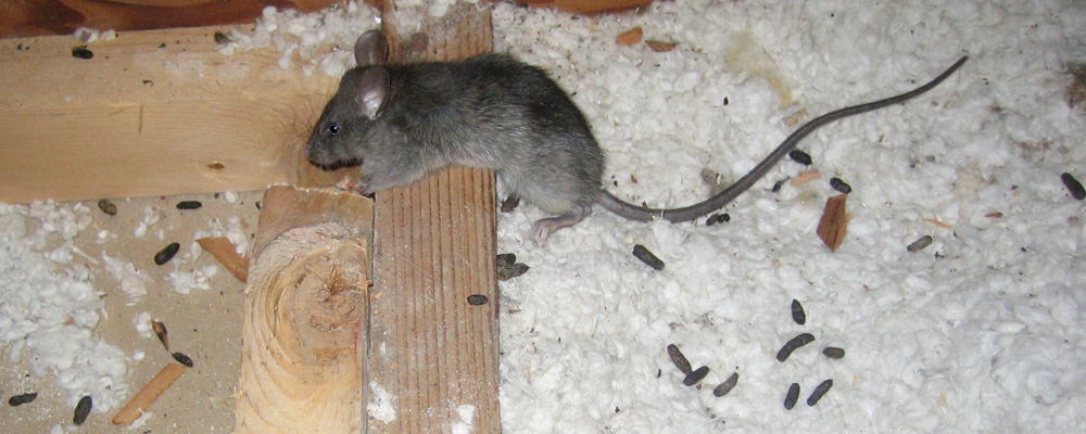 "<img src=""Rodent_Feces.jpg"" alt=""Mice and Rats in attic pooping on insulation"">"