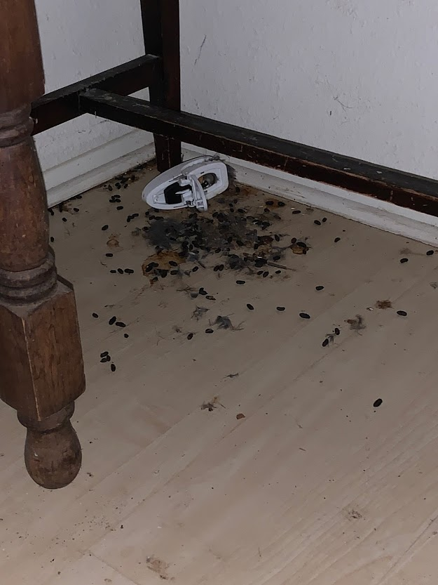 Image shows unattended rodent droppings in an indoor space.