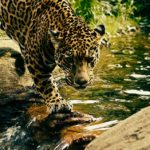 International Organisations launches New Roadmap to save Jaguar