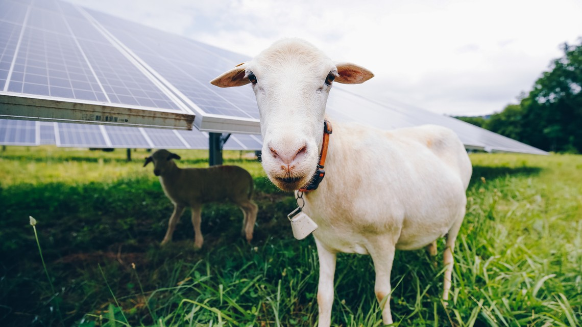 sheep solar panels