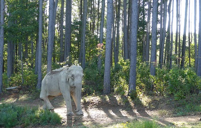 Elephant in the woods, Shirley