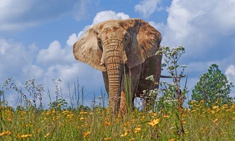Elephant in field of flowers